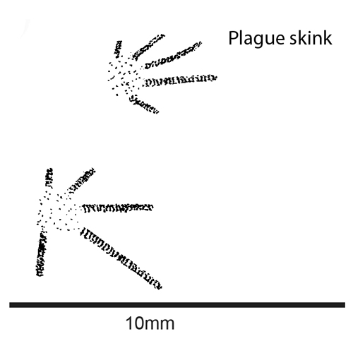 Plague skink tracks 1sq