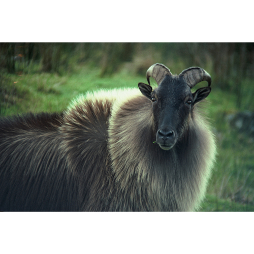 Tahr other horns 1sq
