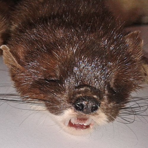 stoat other teeth 2 sq