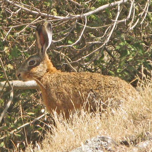 Brown hare 1sq