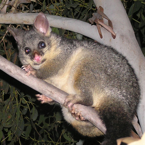 controlling possum in new zealand with The size and weight of possums varies across new zealand  own predators,  such as feral cats, do not have much effect on controlling possum population size.