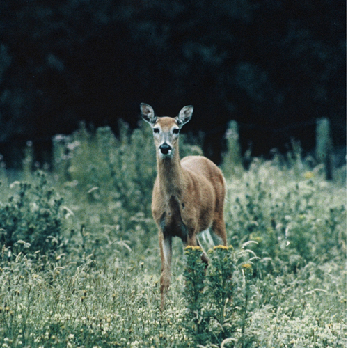 White tailed deer 3 500x500