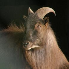 Tahr other horns 2sq